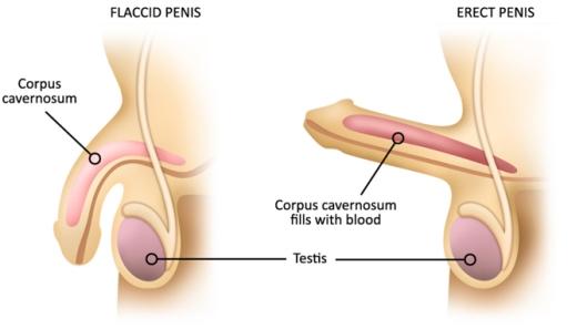 erection_anatomy
